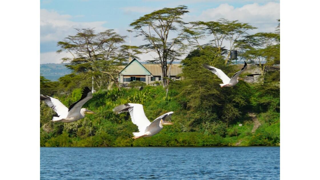 Kenya Lac Naivasha Pélicans 4