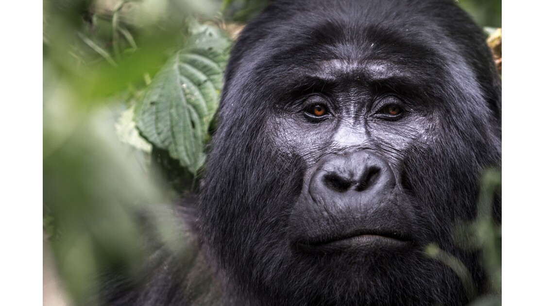 Gorille dos argenté (silverback)
