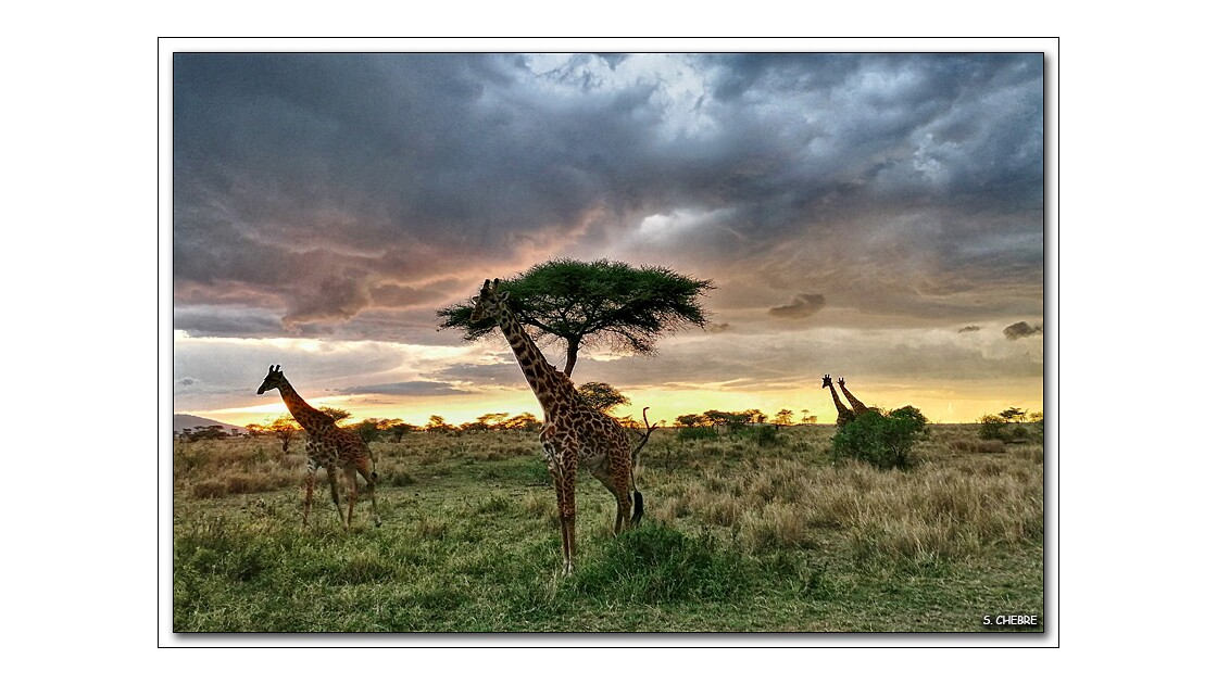 Girafes au couchant