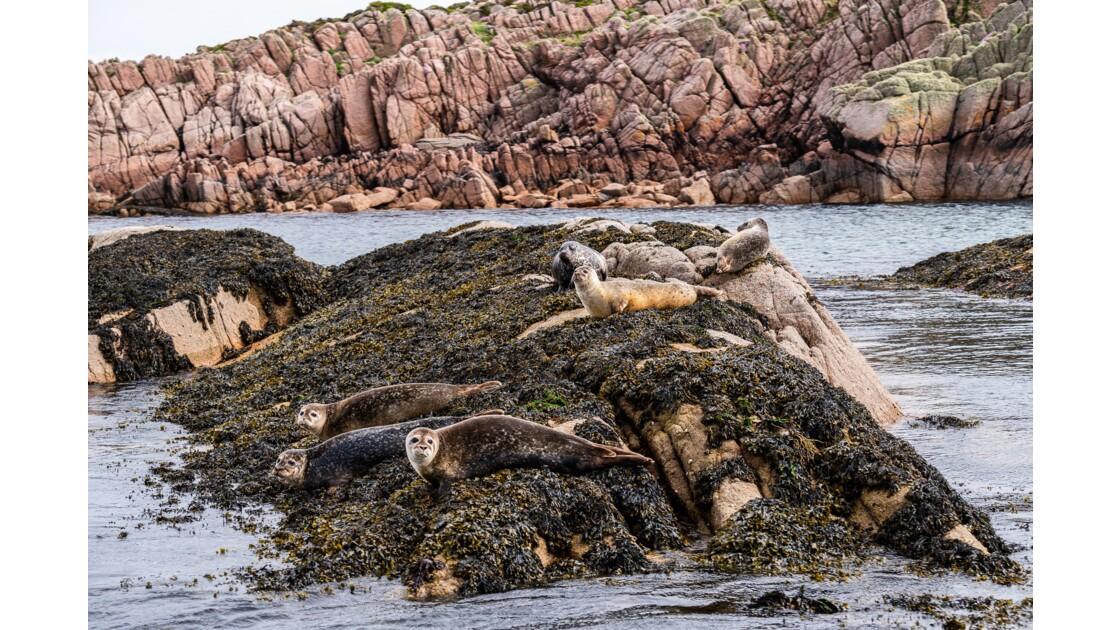 Colonie de phoques non loin de Fionnphort - Mull