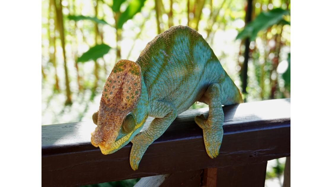 Madagascar Parc de Ranomafana Caméléon 4