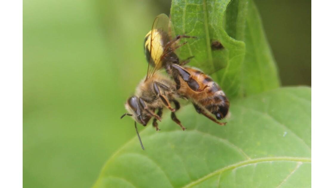 abeille vs araignée