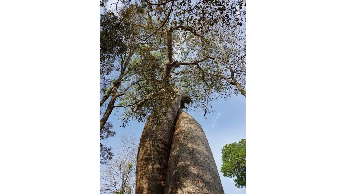 Madagascar Baobabs amoureux 3