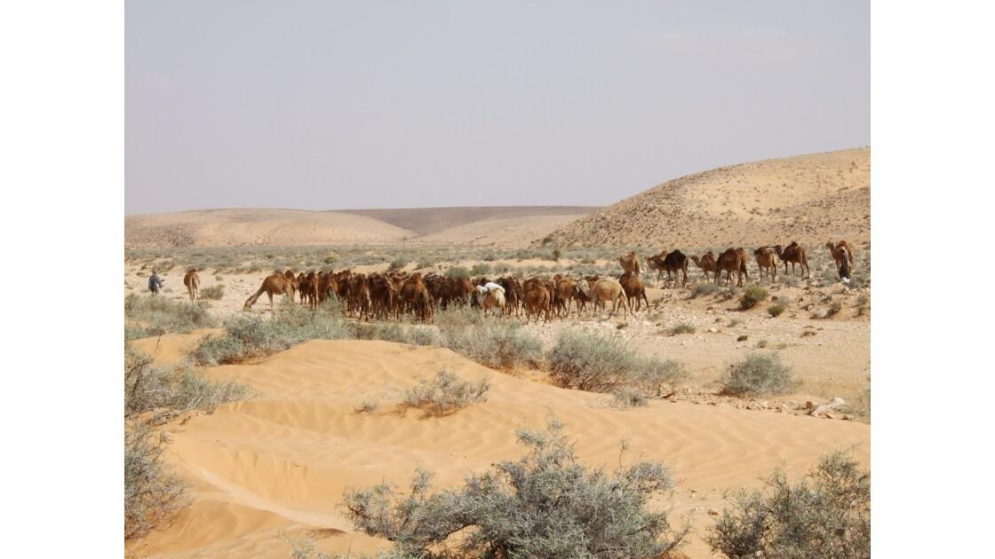 Chamelier dans le désert tunisien