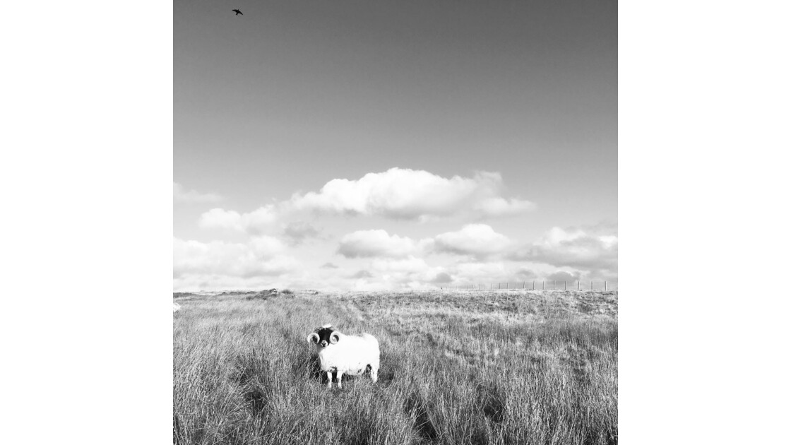 Lonely sheep - Isle of Lewis