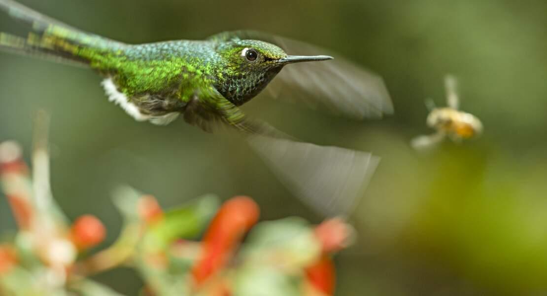 Dans la forêt amazonienne, en Equateur, abeilles et colibris se livrent une guerre du nectar