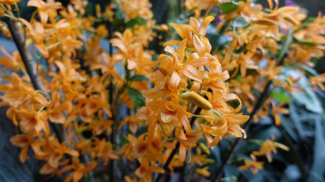 Dendrobium stardust firebird