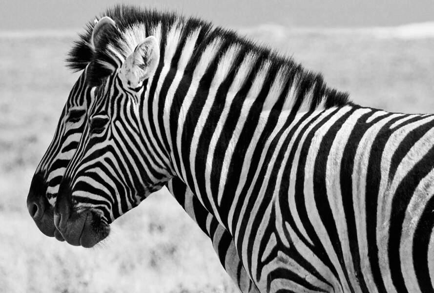 Parc national d'Etosha, Namibie : doublé de zèbres