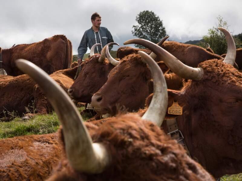 La salers, la vache sacrée
