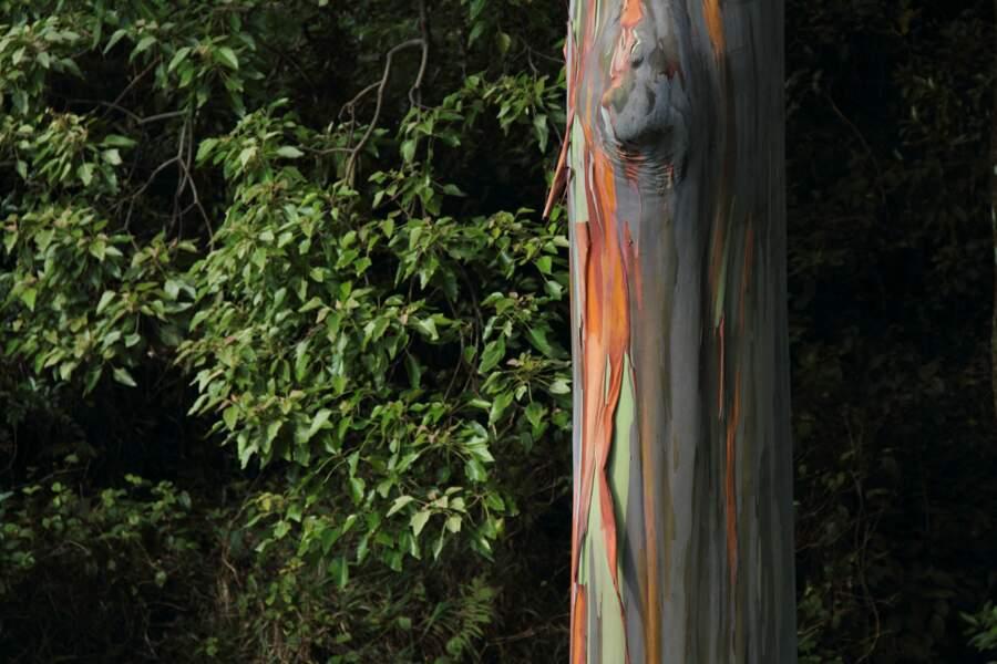 L'eucalyptus arc-en-ciel, dans la région Pacifique