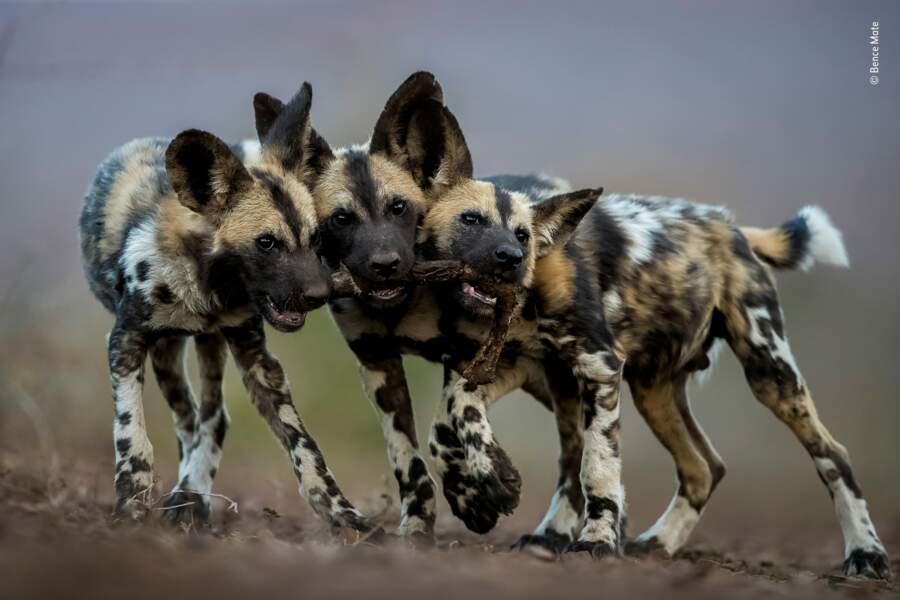Un jouet, trois chiens