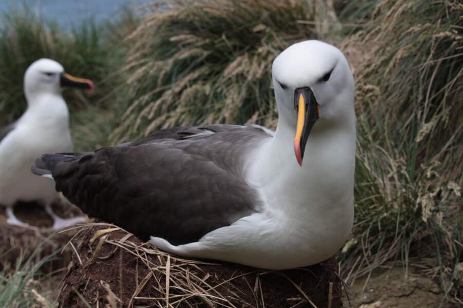 Albatros à bec jaune