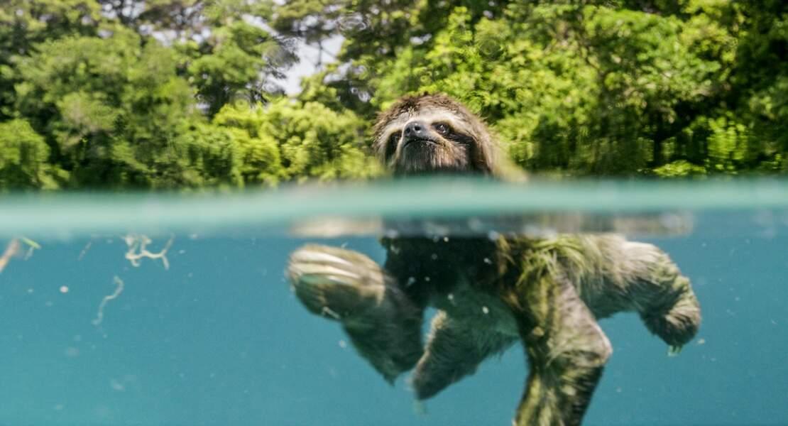 Paresseux pygmée à trois doigts de l'île d'Escudo, au large du Panama
