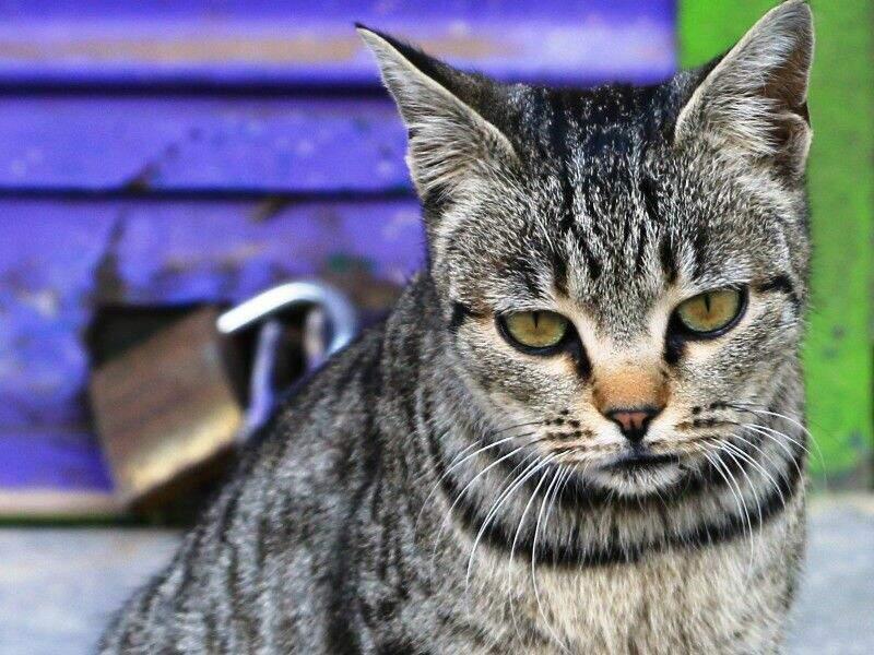Le chat commun européen, très répandu en Inde