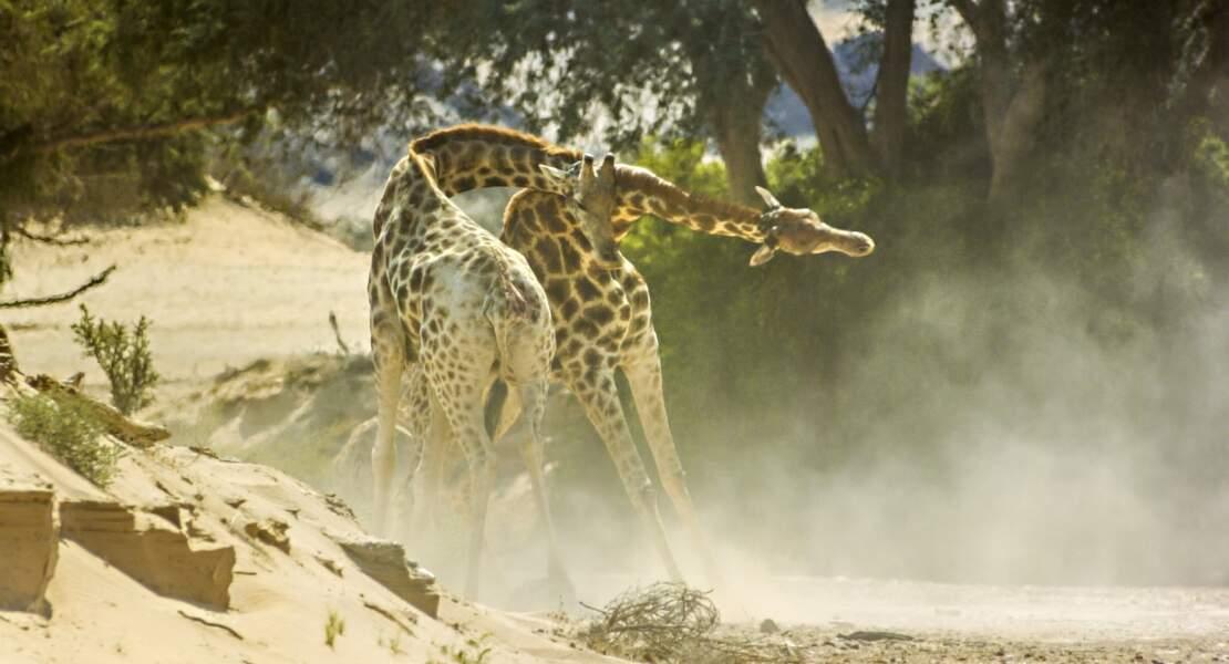 Combat de girafes dans le désert du Namib, en Namibie