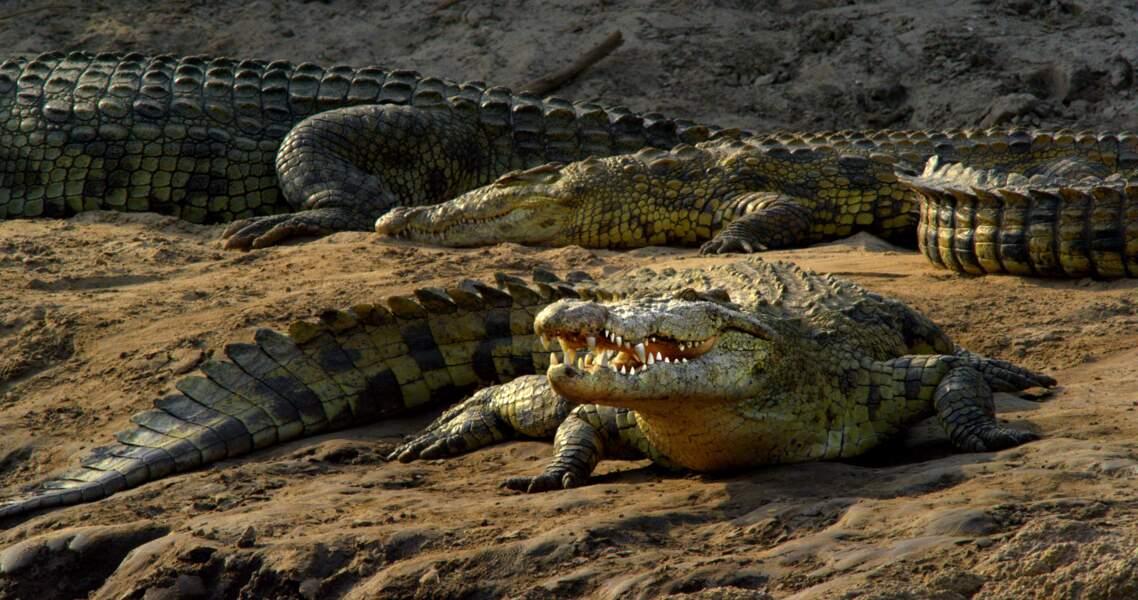 Crocodiles du Nil / Rivière Grumeti, Parc National du Serengeti, Tanzanie