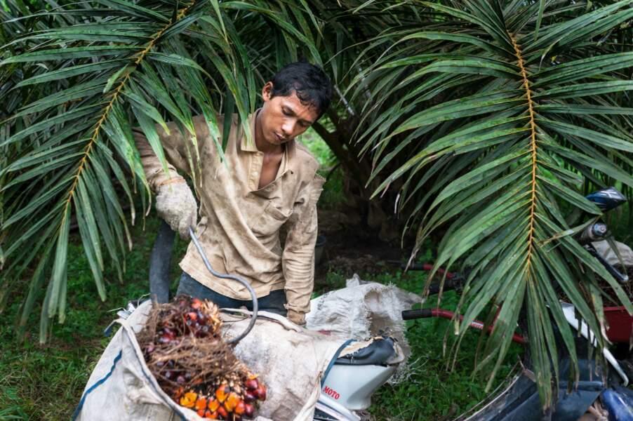 Trois millions de ruraux se sont convertis au palmier