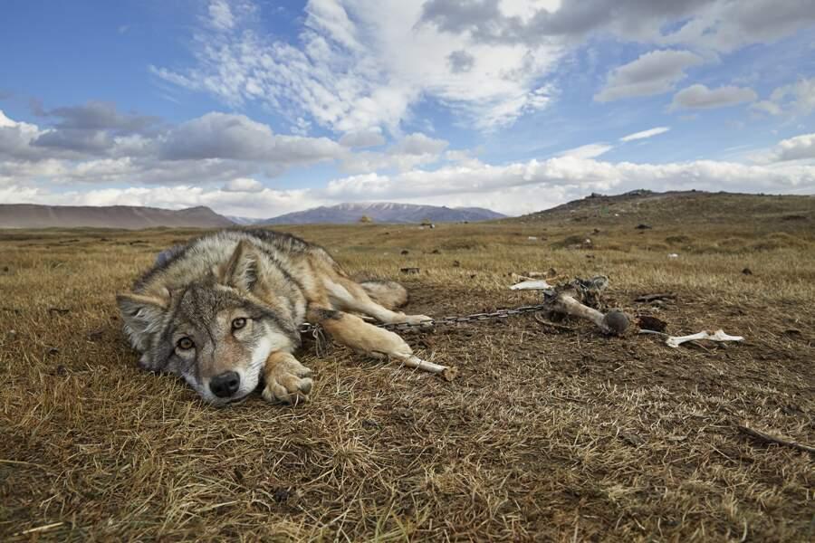 Les rapaces sont même capables de capturer des loups