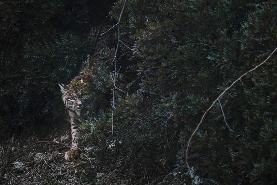 Lynx ibérique / Sierra de Andújar, Jaén, Espagne