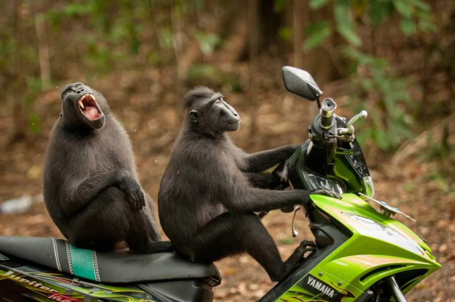 Macaques noirs en goguette (réserve de Tangkoko, Sulawesi, Indonesia)