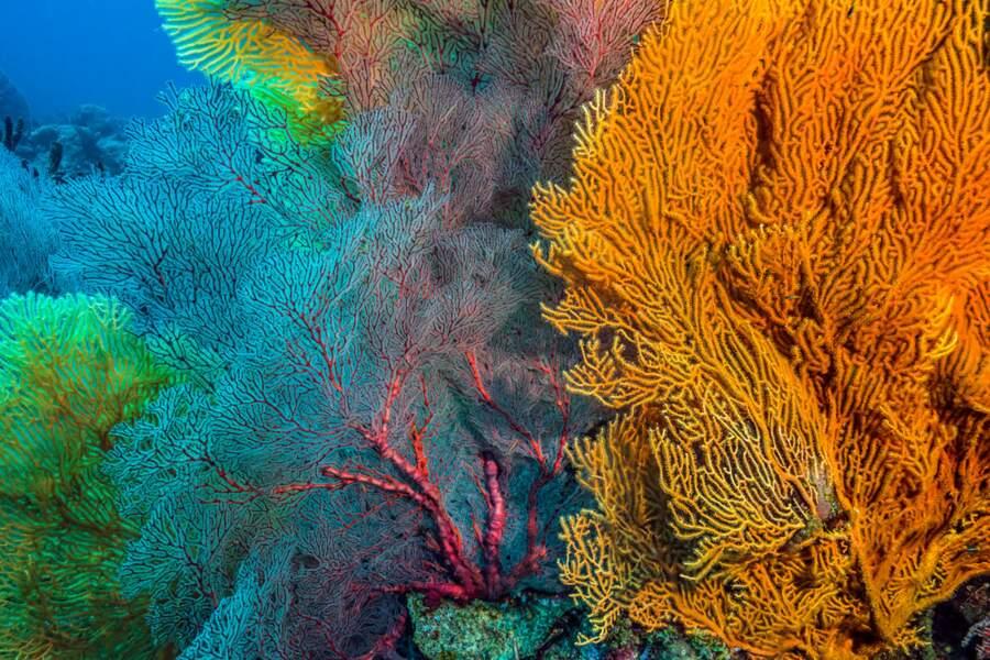 Colonies de coraux