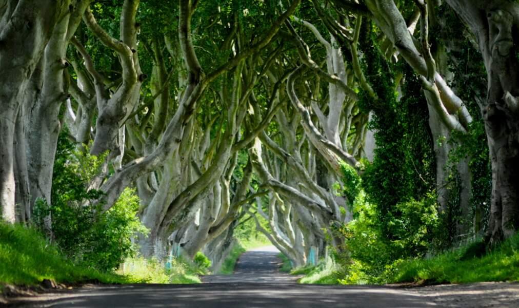 Les hêtres des Dark Hedges, en Irlande