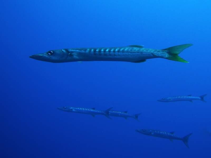 8e spot: Barracuda Point en Malaisie