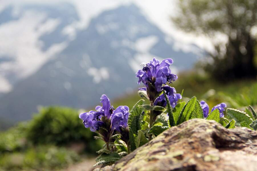 Dracocéphale à grandes fleurs de Sibérie