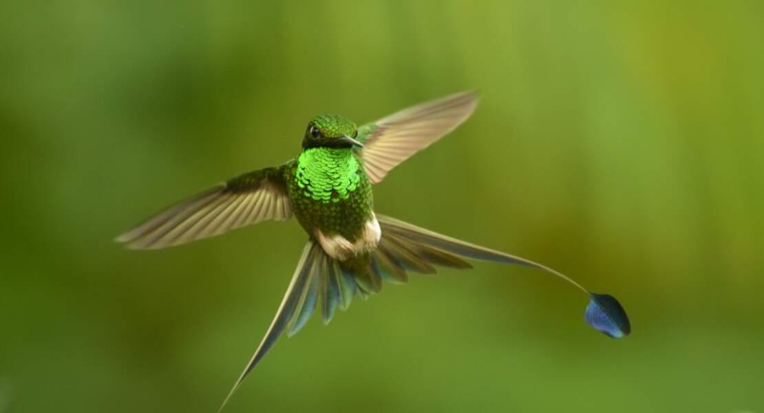 Colibri à l'affût
