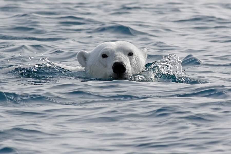 Ours polaire par Vincent Lecomte