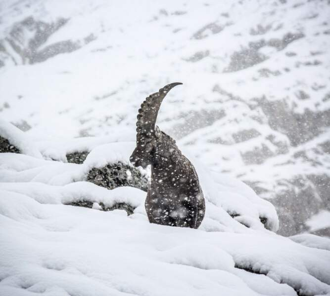 Bouquetin dans les Alpes, en France, par Théo Giacometti / Communauté GEO