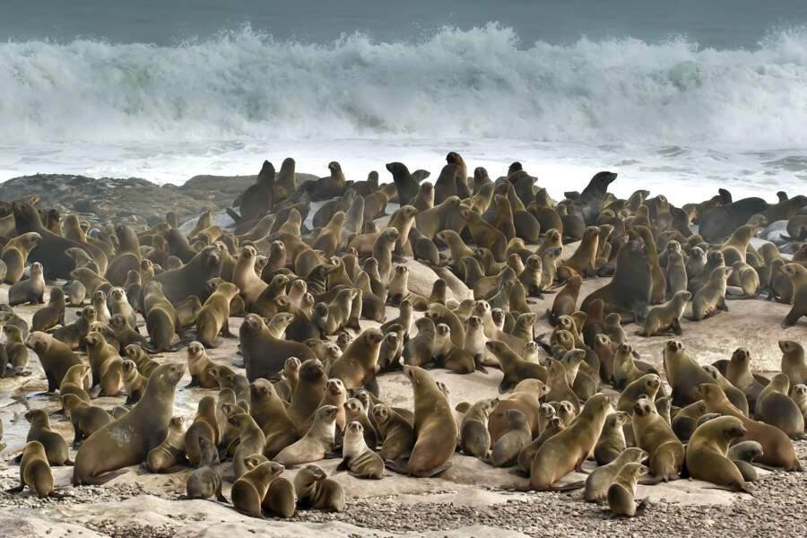 Lions de mer, côte des squelettes, Namibie