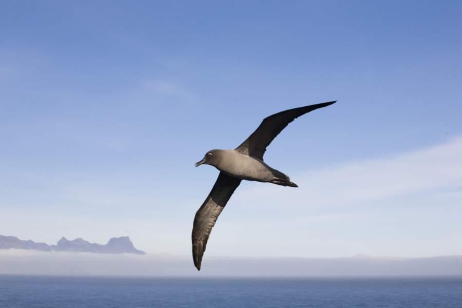 Albatros fuligineux à dos clair au large de l'archipel de Crozet