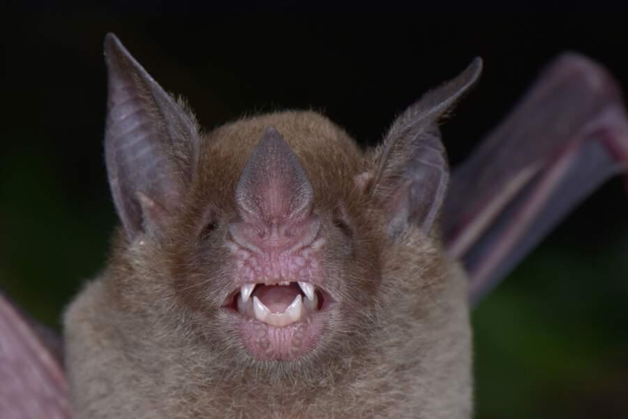 La chauve-souris à face pâle (Phylloderma stenops)