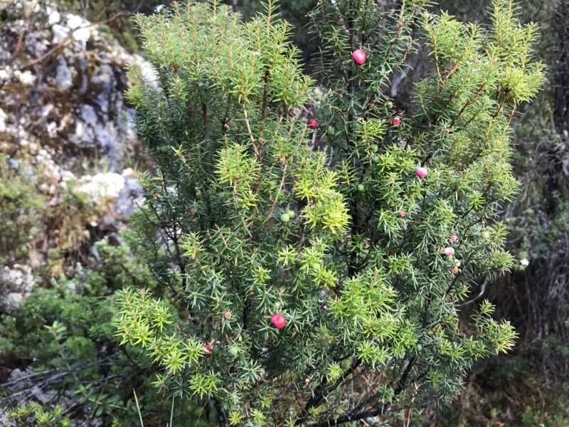 Ici des pink mountain berries…