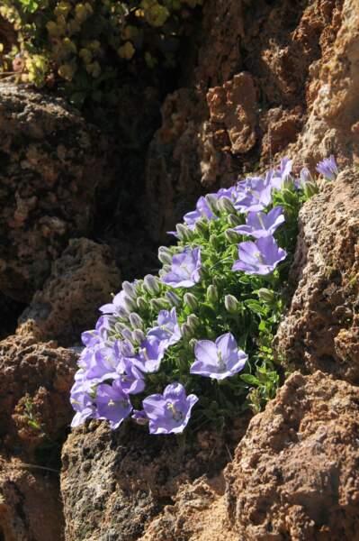 Campanules de Rainer (Campanula raineri) des Alpes suisses et italiennes