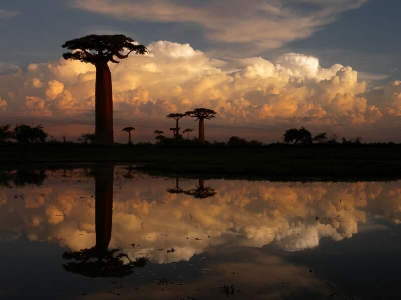 Les baobabs de Menabe, à Madagascar