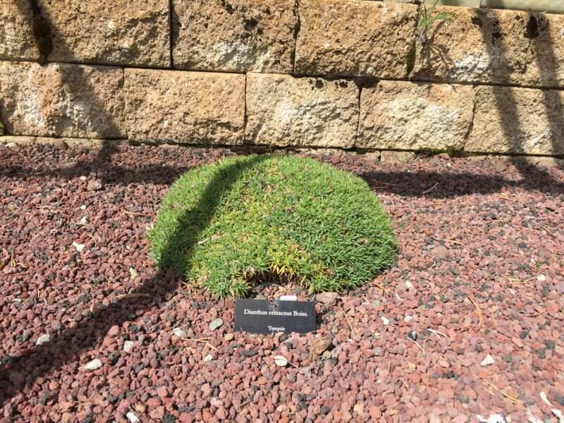 Même stratagème pour la rocailleuse Dianthus erinaceus venue de Turquie