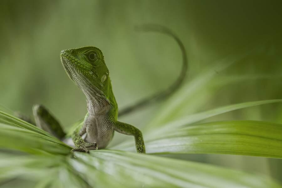 Lézard des bois / Parc National du Yasuni, Equateur