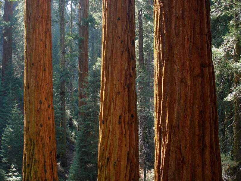 Le séquoia géant de Californie