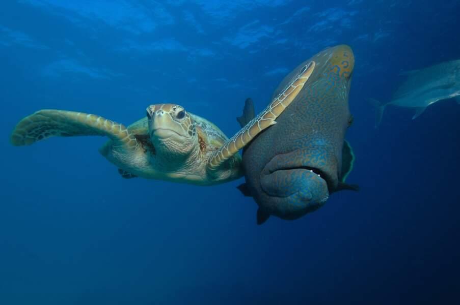 Tortue verte contre labre géant (Grande Barrière de corail, Australie)