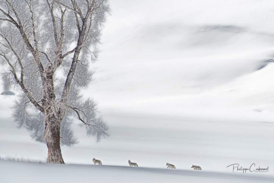 Coyotes par Philippe Cabanel