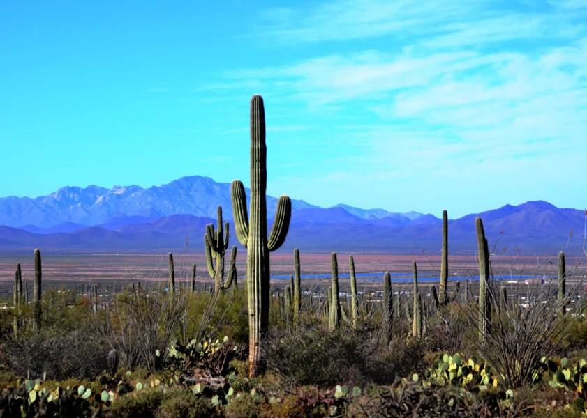 Le parc national de Saguaro