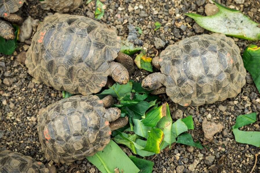 Petites tortues deviendront grandes