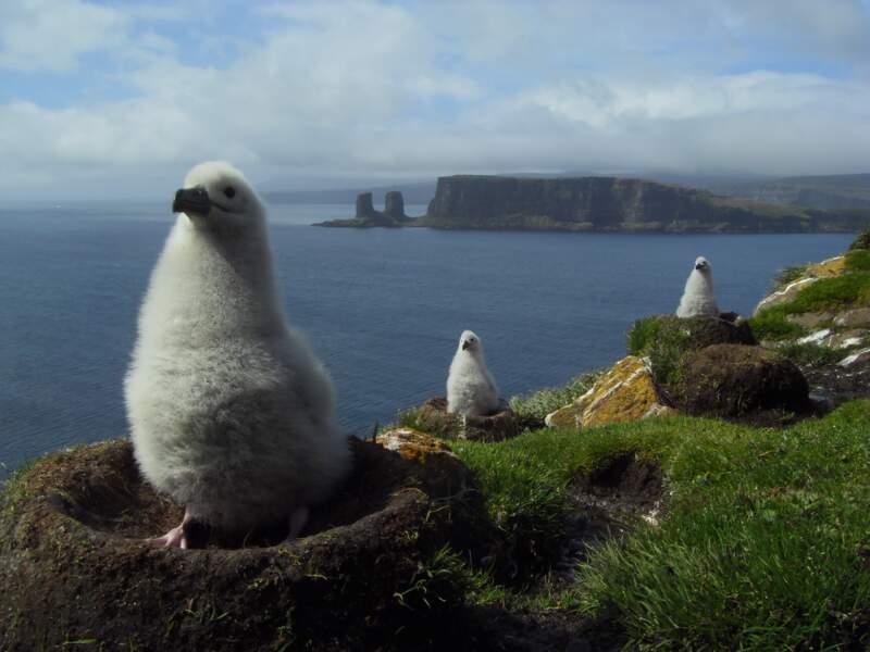 Baie de l'Oiseau, poussins albatros à sourcils noirs