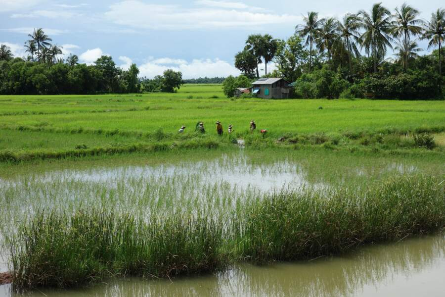 Rizières contre mangrove