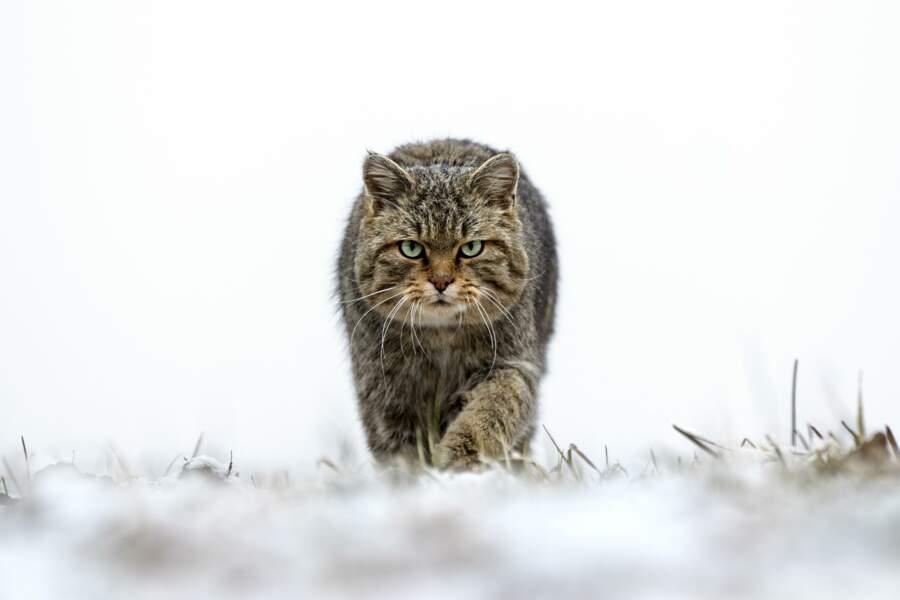 Chat sauvage par Joël Brunet
