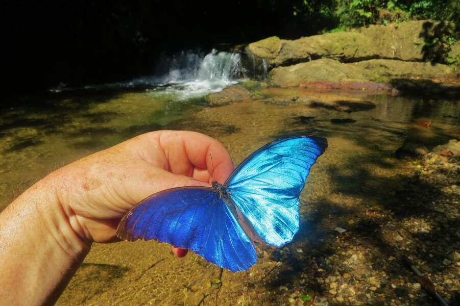 Un papillon Morpho (Morpho menelaus amathonte)