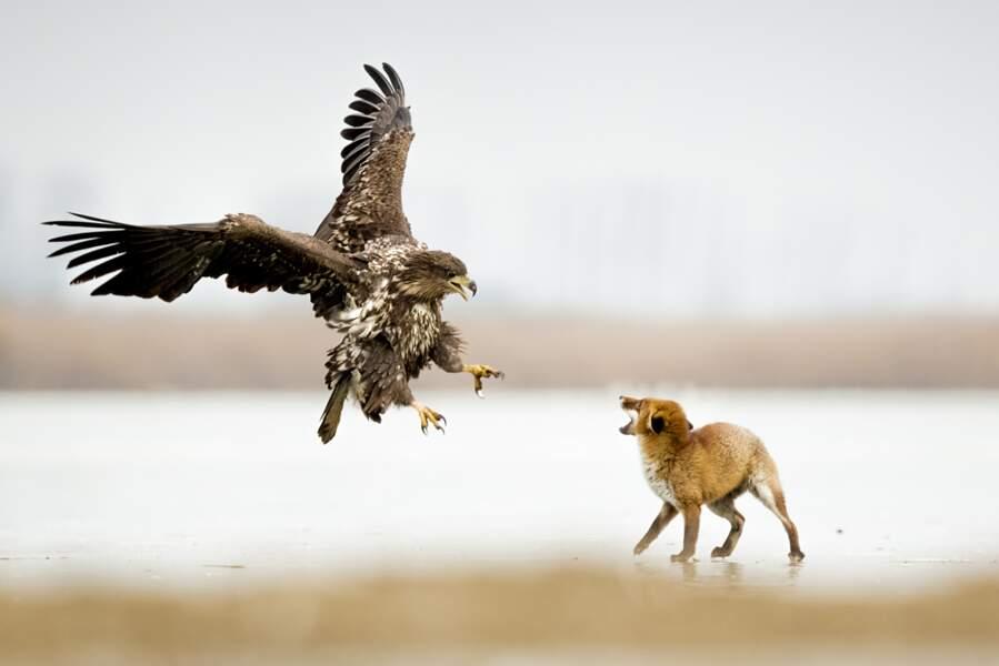 La rencontre d'un aigle et d'un renard / Kiskunság National Park, Hongrie