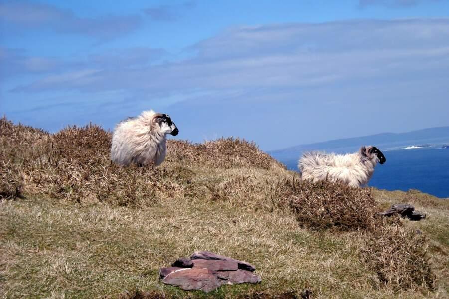 Moutons sur la péninsule de Dingle